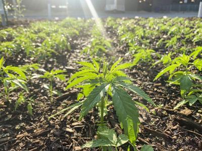 USDA releases details of hemp pilot crop insurance