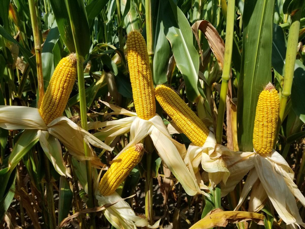 CropWatchers 2.0: Drought conditions dampen crop progress