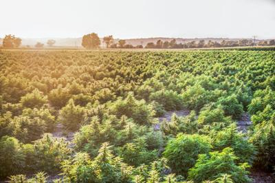 Good news for Illinois hemp growers; state rules remain for '21 growing season