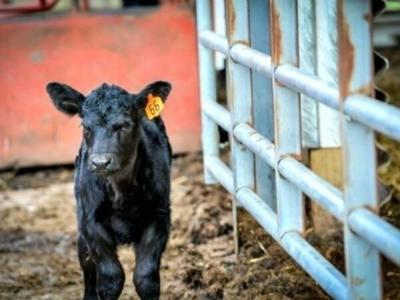Cattle inventory slips