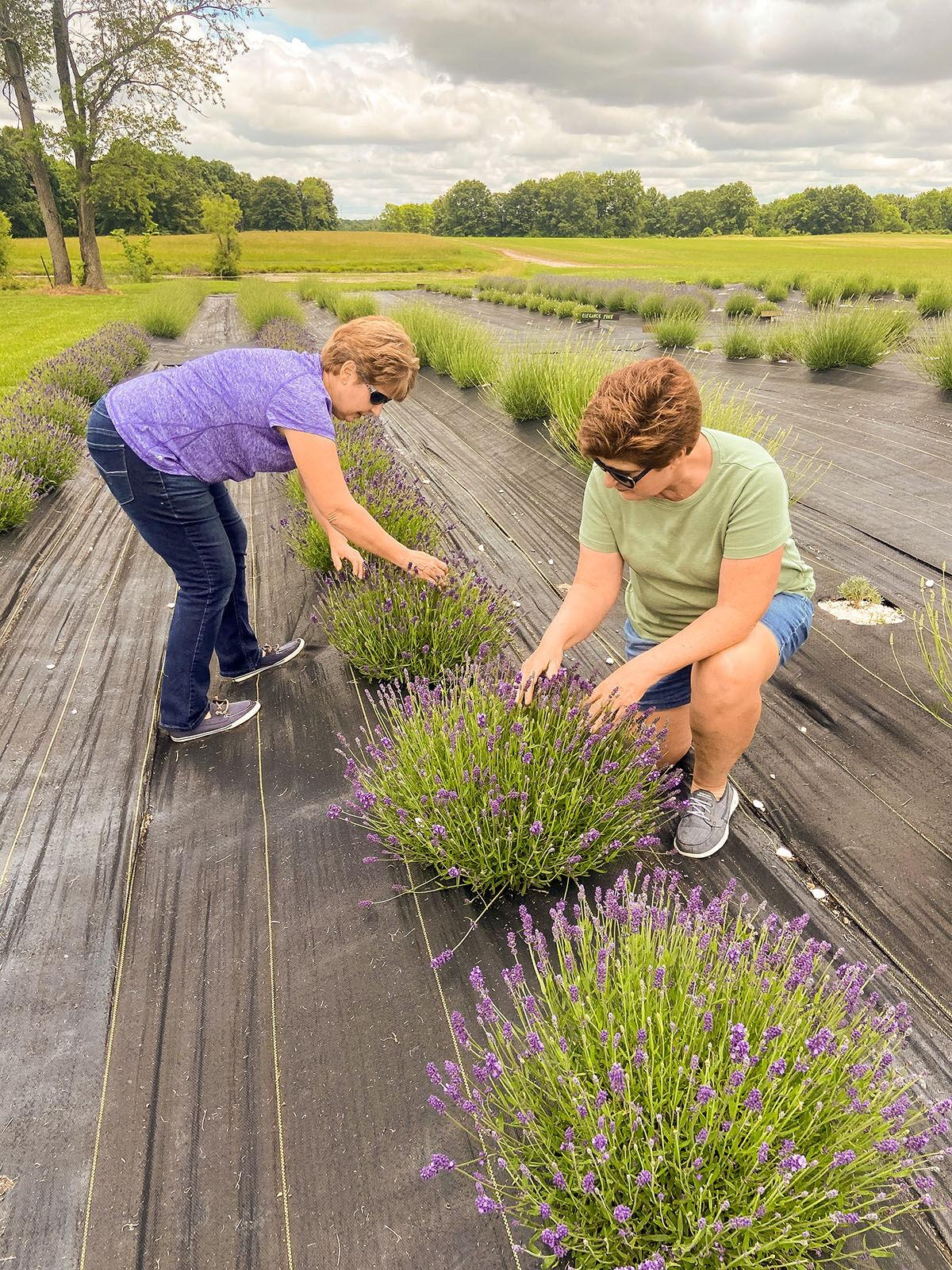 'Yes, you can grow lavender in Illinois'