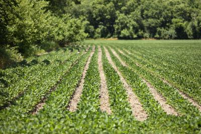 Fungicide a key tool for soybeans, regardless of planting date