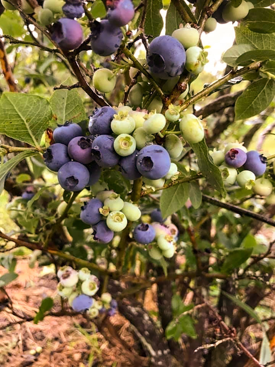 Moultrie County farm's blueberries a taste of summer