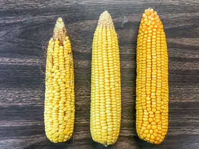 Crop tour finds highest average corn yield in 10 years