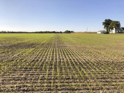 Winter wheat seedings sink to second lowest on record