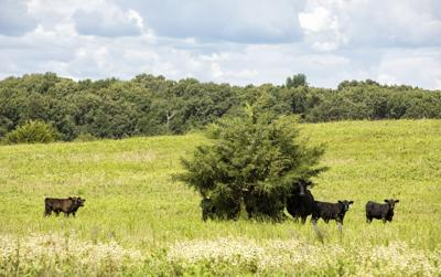 Meteer: Quality feed options exist for cattle farmers