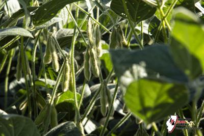 Farmers should consider SCN resistance during seed selection