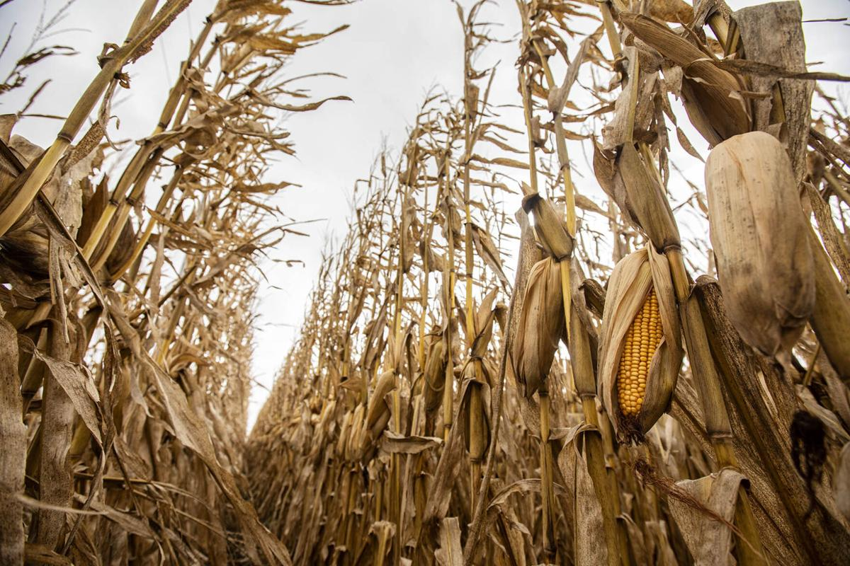Yield variability keeps market guessing