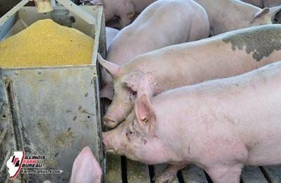 Hog farmers face more losses despite positive developments