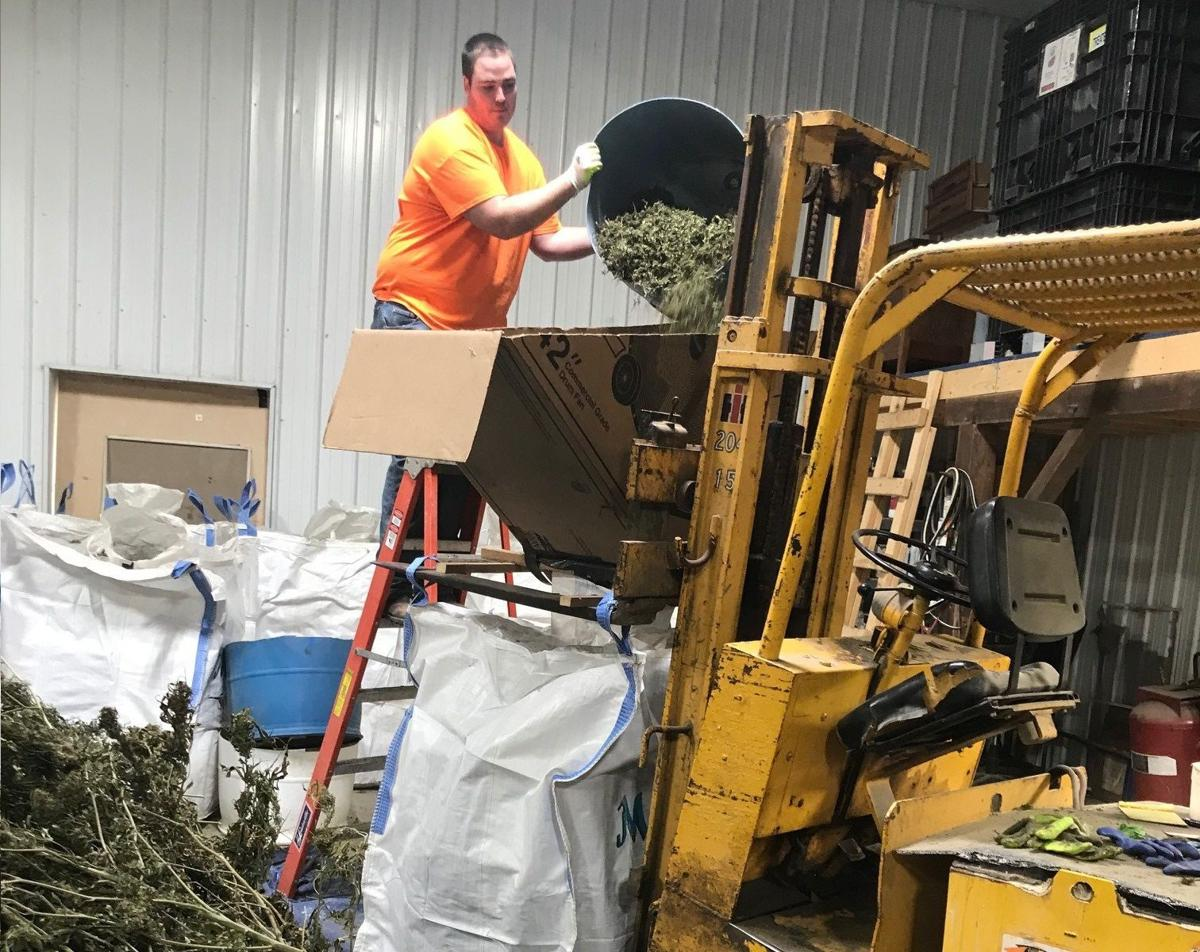 'Lucky' farmer finishes first hemp crop, shares lessons