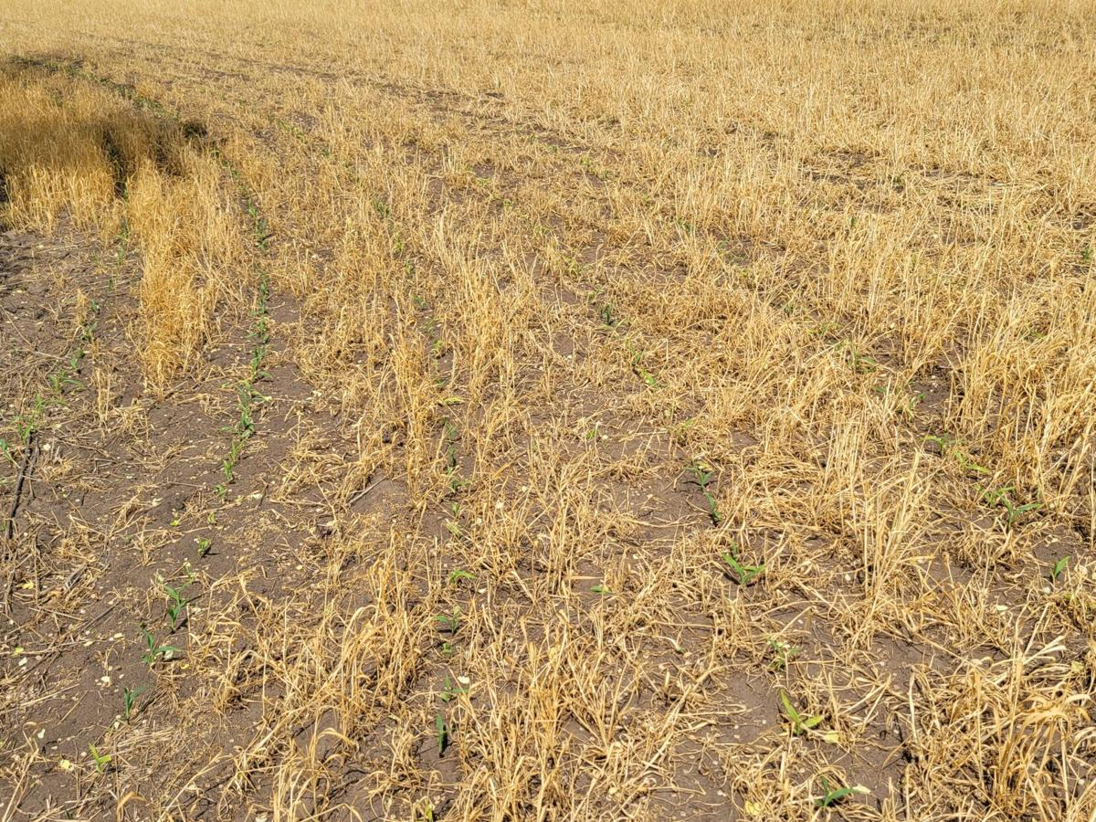 CropWatchers 2.0: A tale of two fields