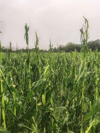 Wet stretch fuels crop disease, damage concerns