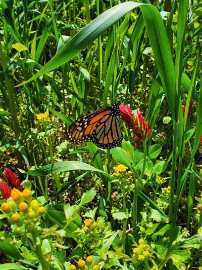 Illinois Monarch Project requests milkweed, pollinator habitat data