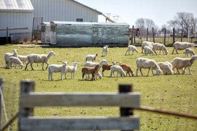 COVID challenges sheep/lamb industry; farmer focuses on quality