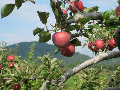 Photo_Lifestyle_Apples at Graves Mountain.jpg