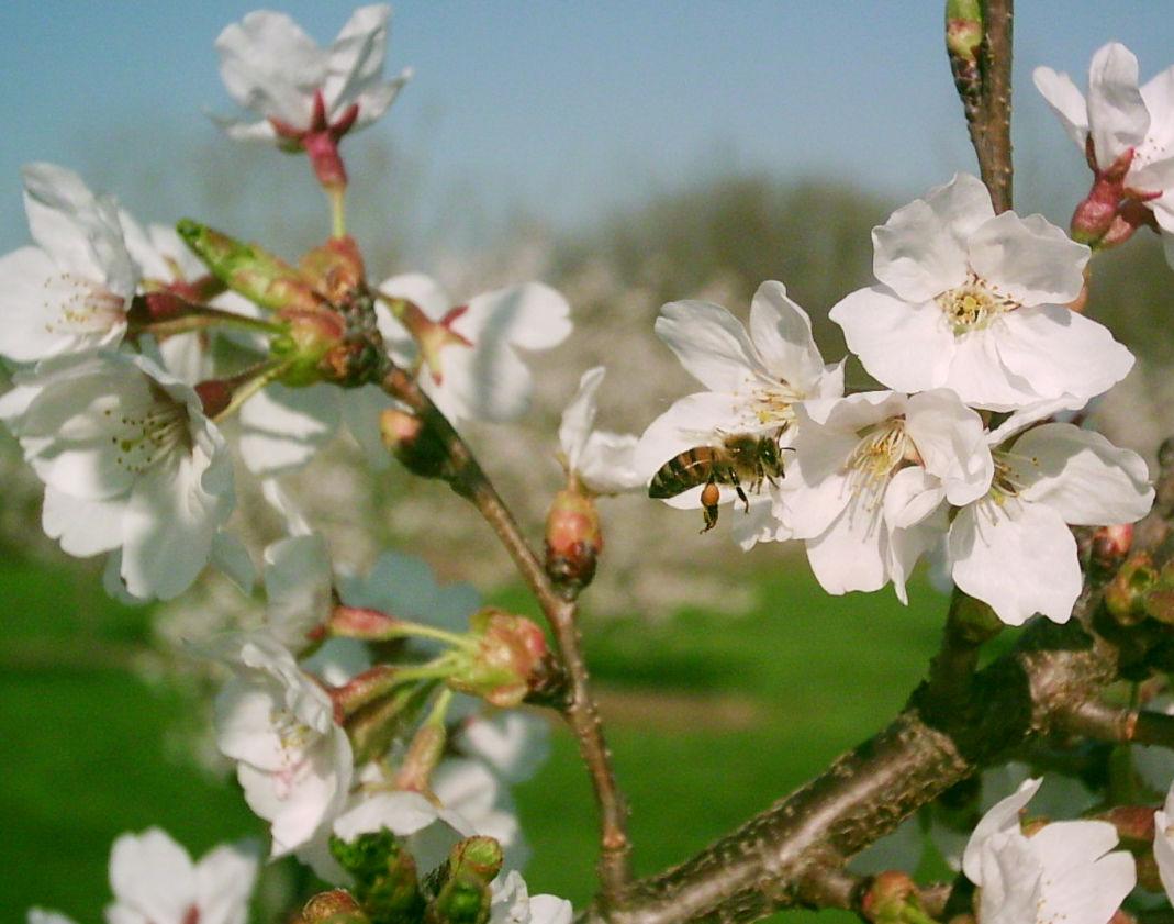 photo_ft_news_bee on cherry blossom_062420.jpg