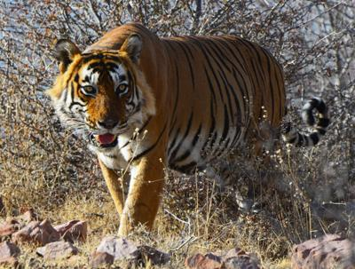 1. Tiger DSC_7441.jpg