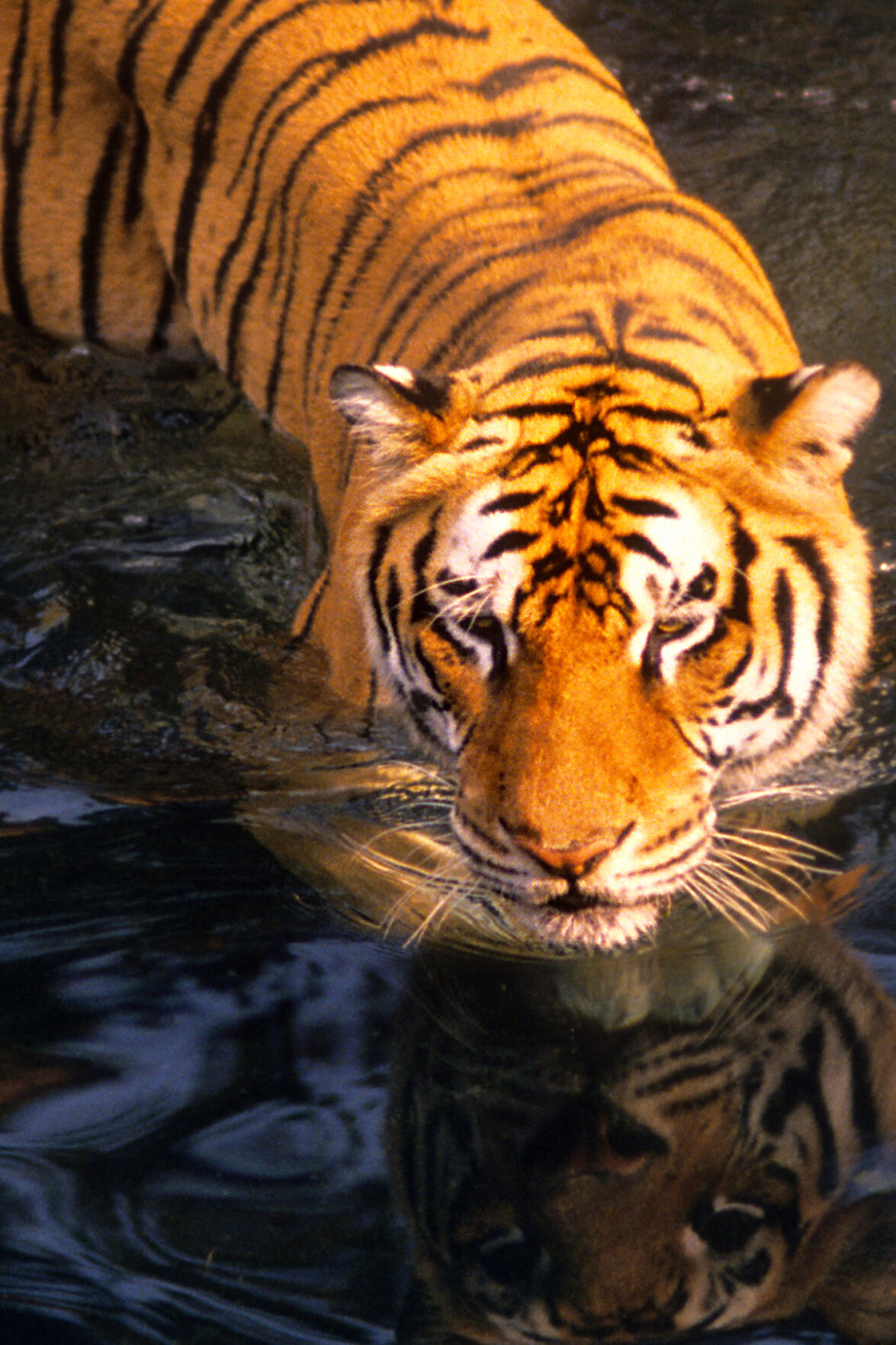 photo_ft_news_sunny_Bengal tiger_090821.jpg