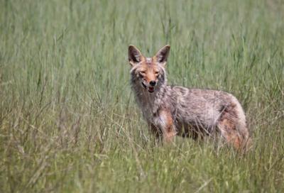 female coyote looking across a field