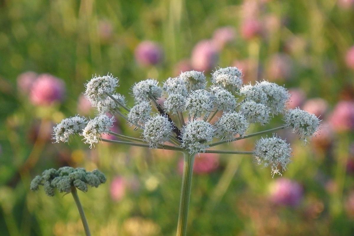 Historic Herb Use