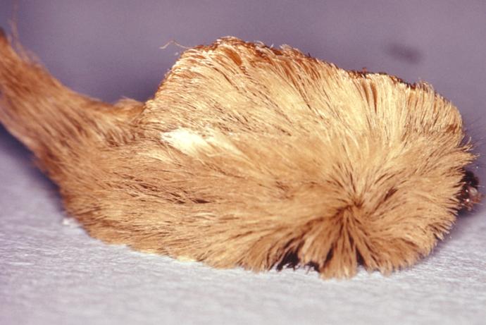 puss caterpillar CDC image