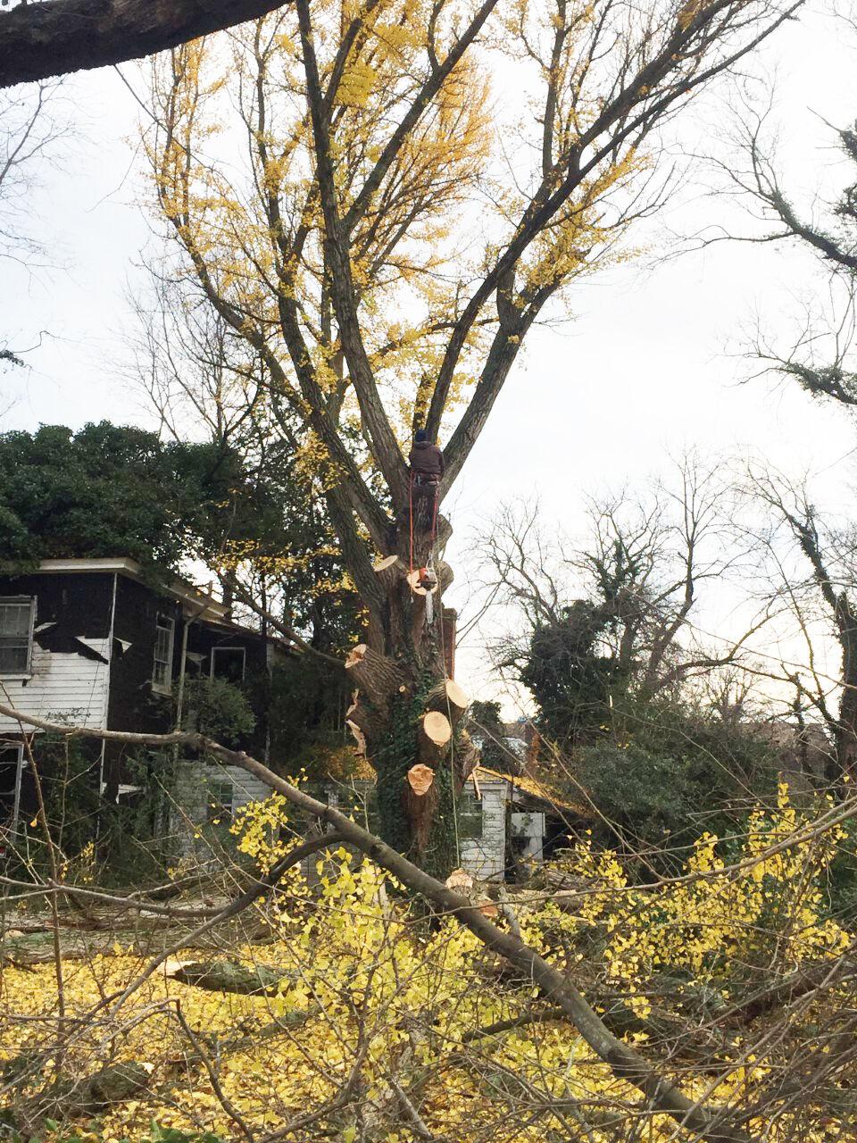 photo_ft_news_gingko tree down 3_120920 copy.jpg