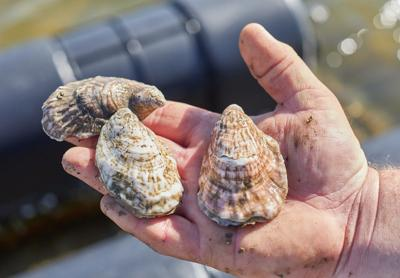 Issue No. 8: Oyster farming in Virginia