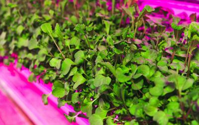 Microgreens are a superfood fad here to stay