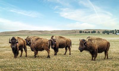 Issue no. 12: Bison in South Dakota