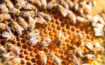 Why we should all care about the humble honeybee
