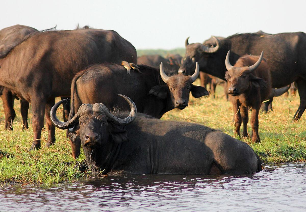 Buffalo, not bison