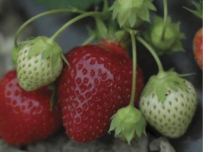 Boz's Berry Farm Strawberries