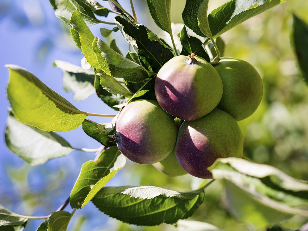 Of the Earth Apples