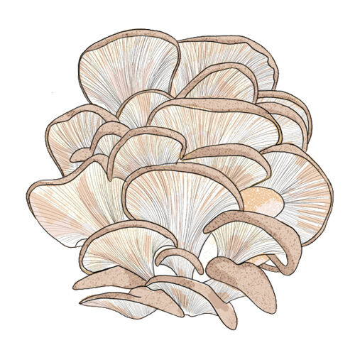 Crash Course Mushrooms Oyster