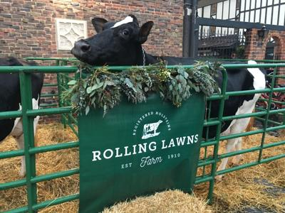 Rolling Lawns Farm Cows