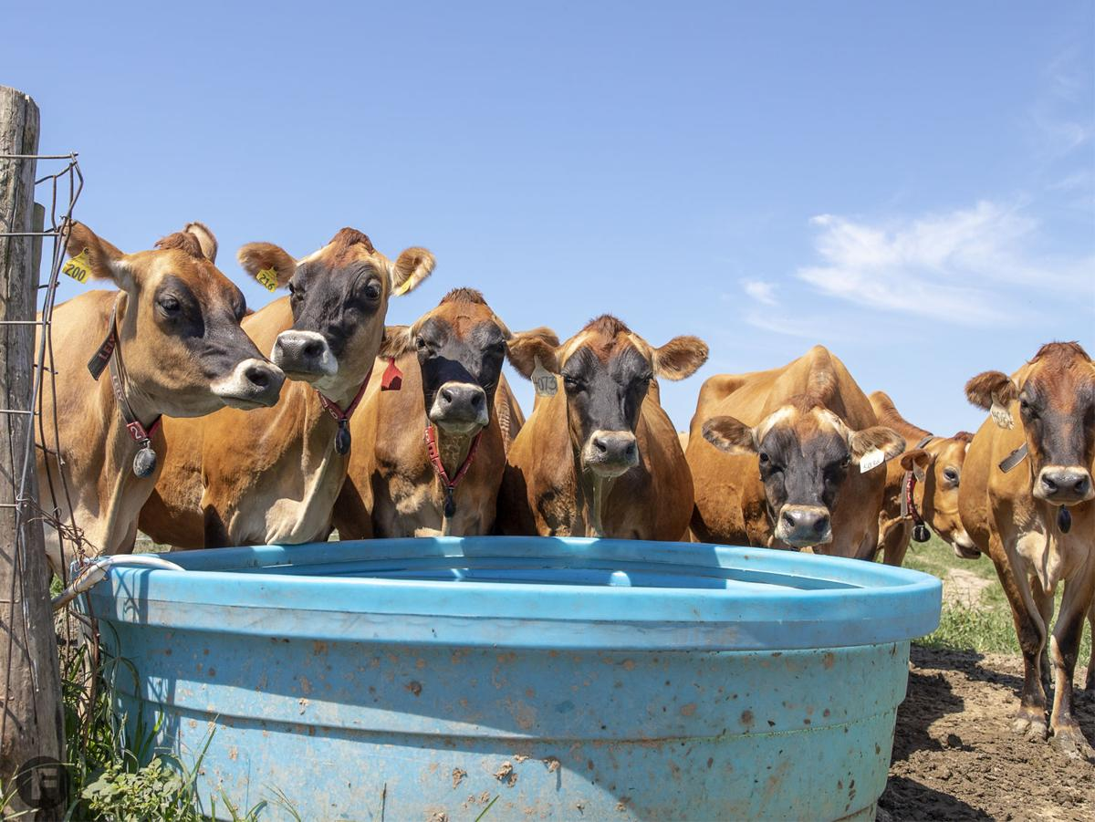 Marcoot Jersey Creamery_Cows