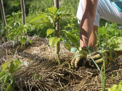 Gardening Tips: Mulching