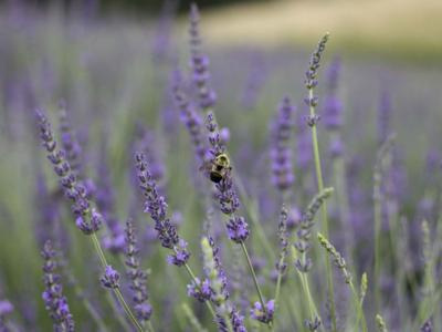 The Lookout Farm Lavender