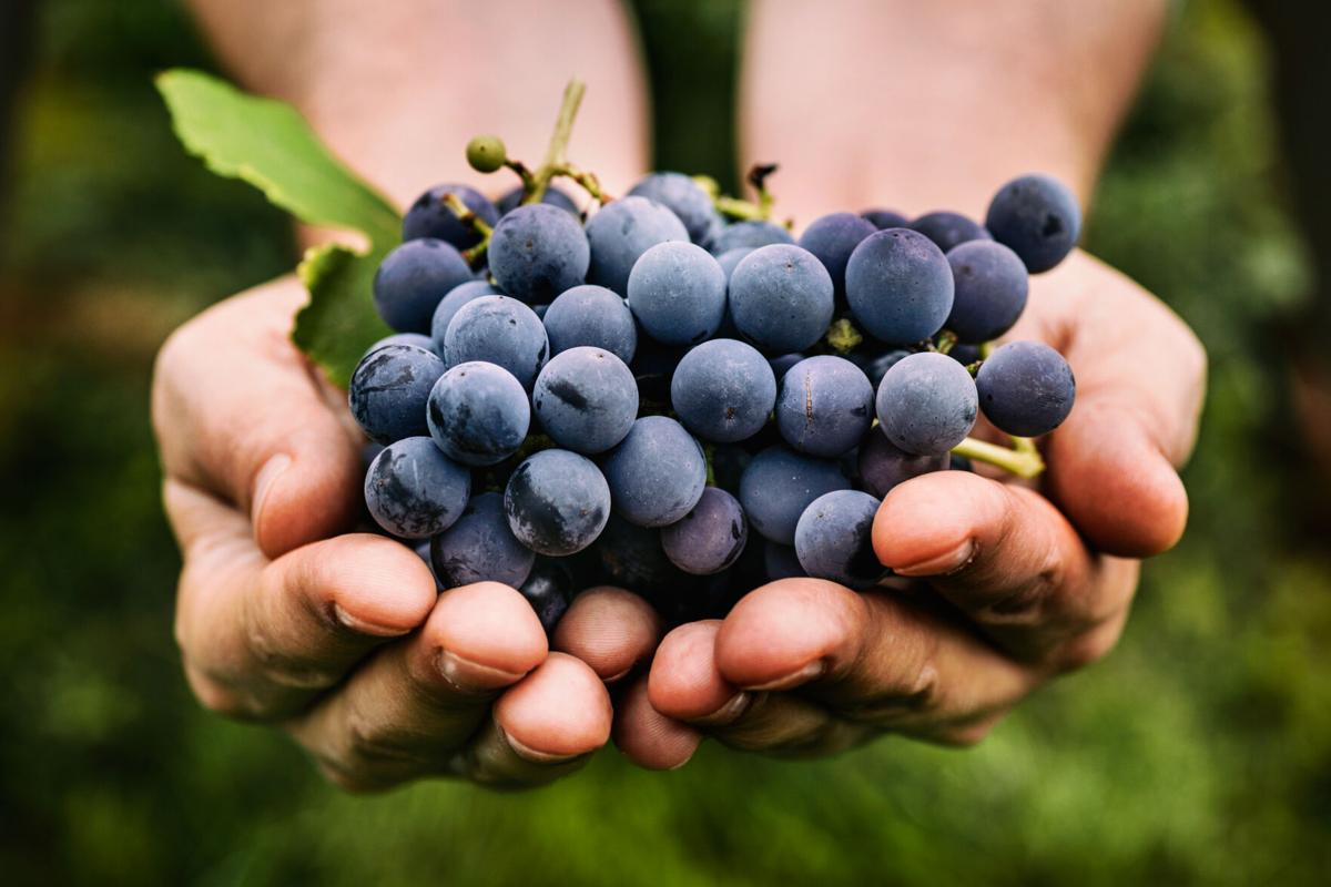 Grapes bring benefits by the bunch