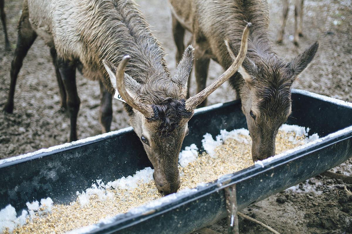 Hinkebein Elk Ranch: Elk Feeding