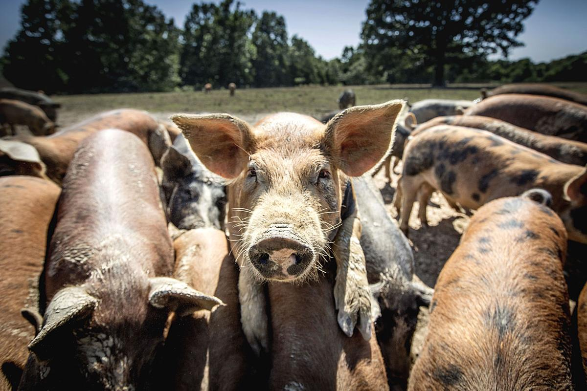 Circle B Ranch Pigs