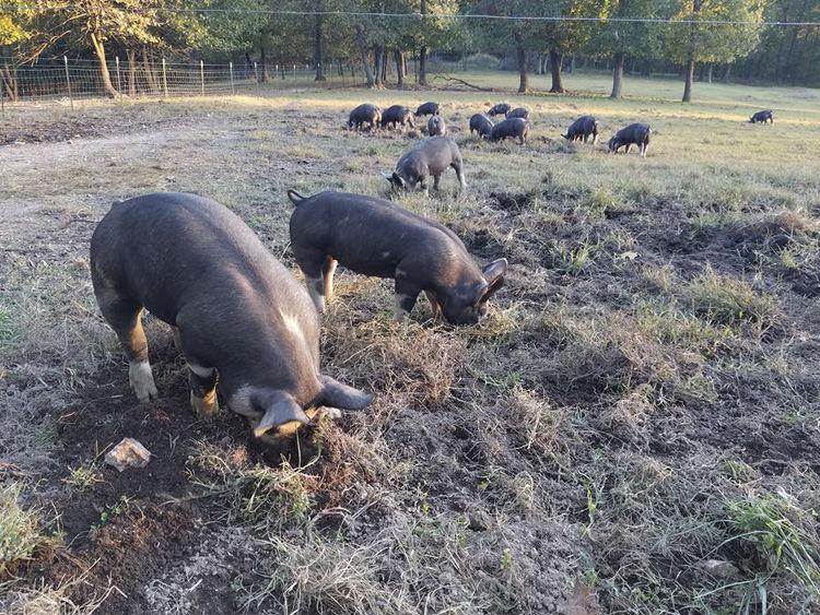 Coyote Creek Ranch Raises Berkshire Hogs, Nubian Goats, Sheep and