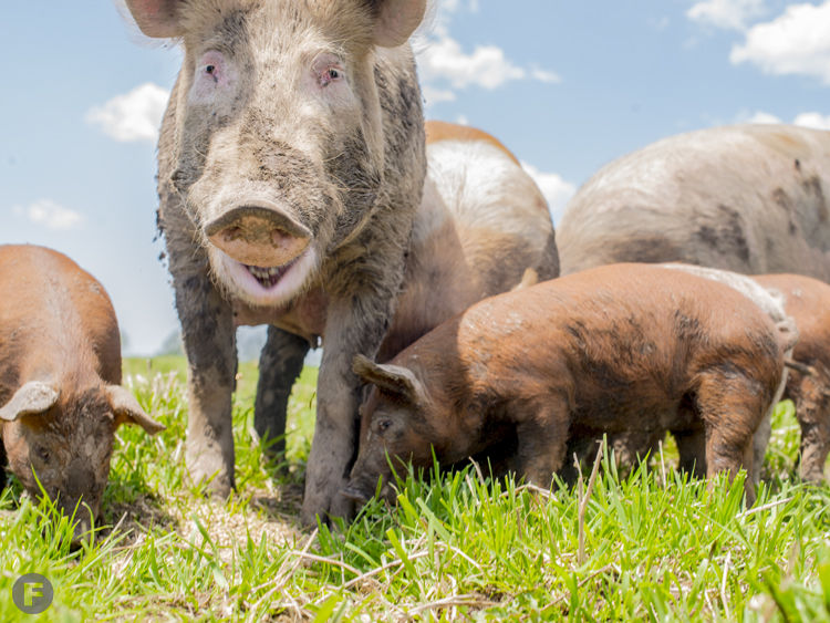 Green Thicket Farm Pigs