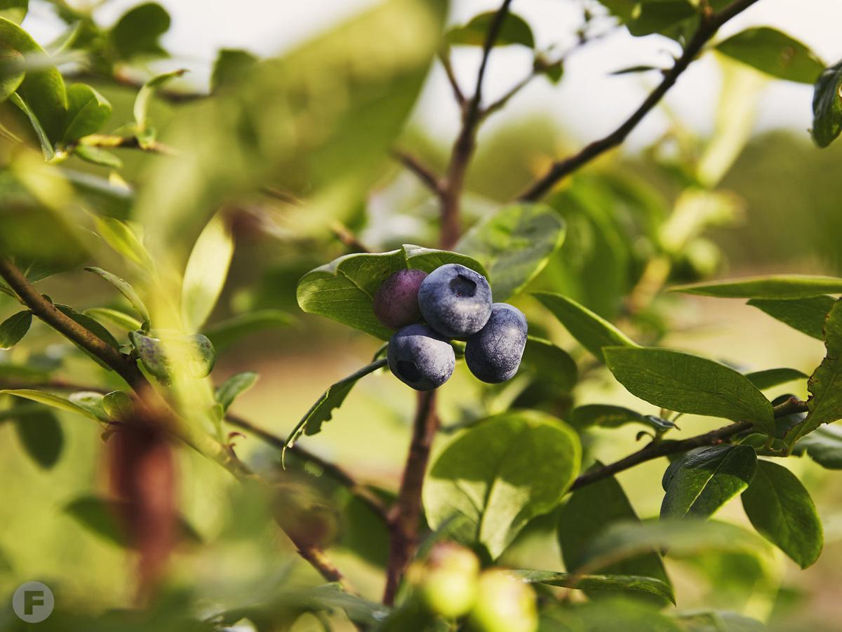 Persimmon Hill Farm Blueberries