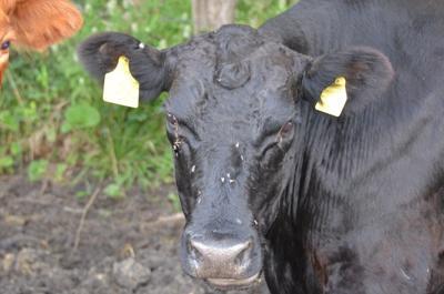 Flies on Pastured Cattle