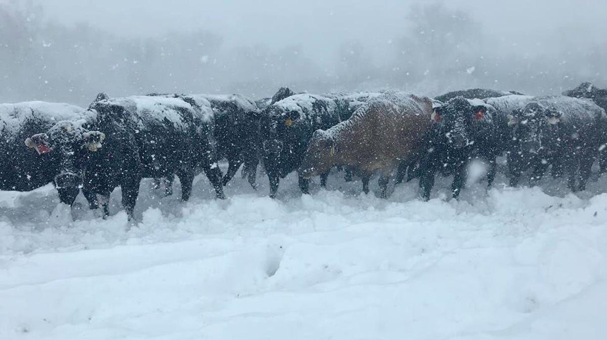 CC Winter Cold Cows