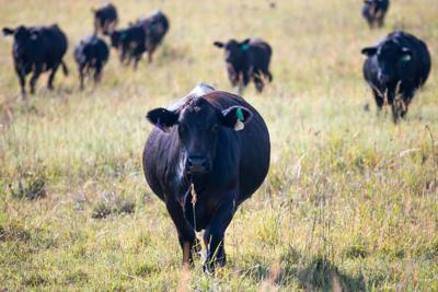 CC Cattle Grazing