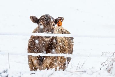 Cattle in snow storm