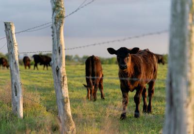 CC Calf in Pasture