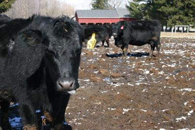 CC Cows in Mud